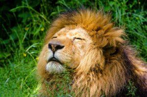 Die Eigenschaften des Sternzeichen Löwe
